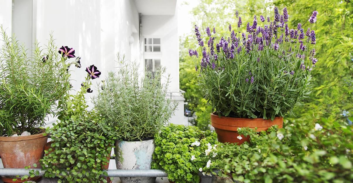 Les plantes, toujours vers l'intérieur du balcon...