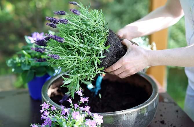 aménager un jardin sur son balcon : les plantes odorantes