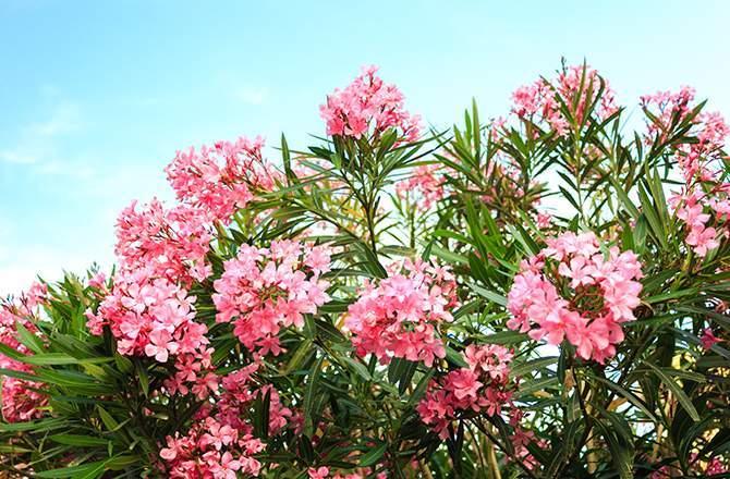 aménager un jardin sur son balcon : le laurier