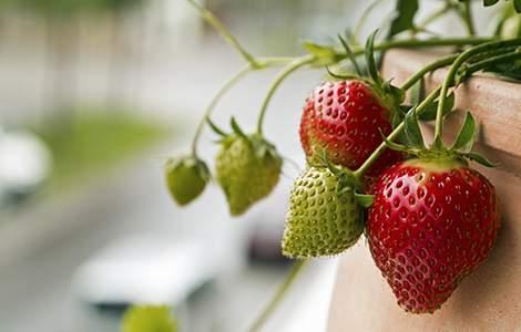 aménager un jardin sur son balcon : fraisiers remontants